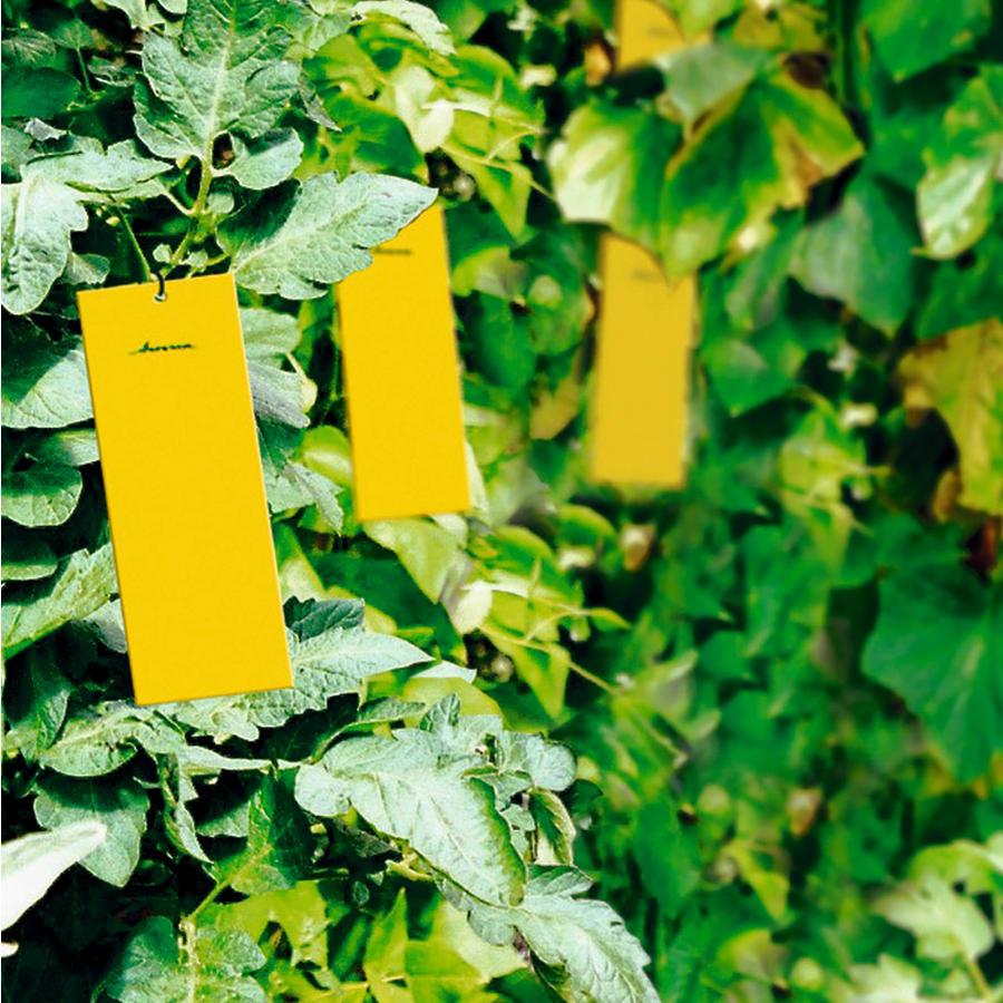 Leimtafeln 10er packung diverses zubeh r gew chshaus for Gelbe leimtafeln